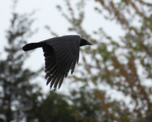 American Crow flying