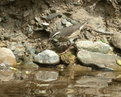 Louisiana Waterthrush by a stream