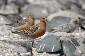 Threatened species: Red Knot