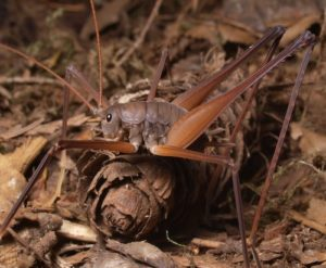 Camel cricket