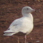 Glaucous Gull Photo by Bob Abrams