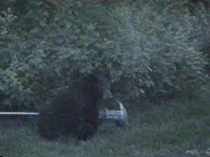Black bear in yard