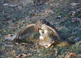 Cooper's Hawk takes a backyard squirrel