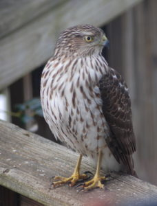Young Cooper's Hawk on deck