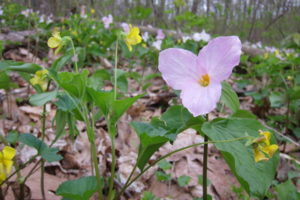 Trillium and violet