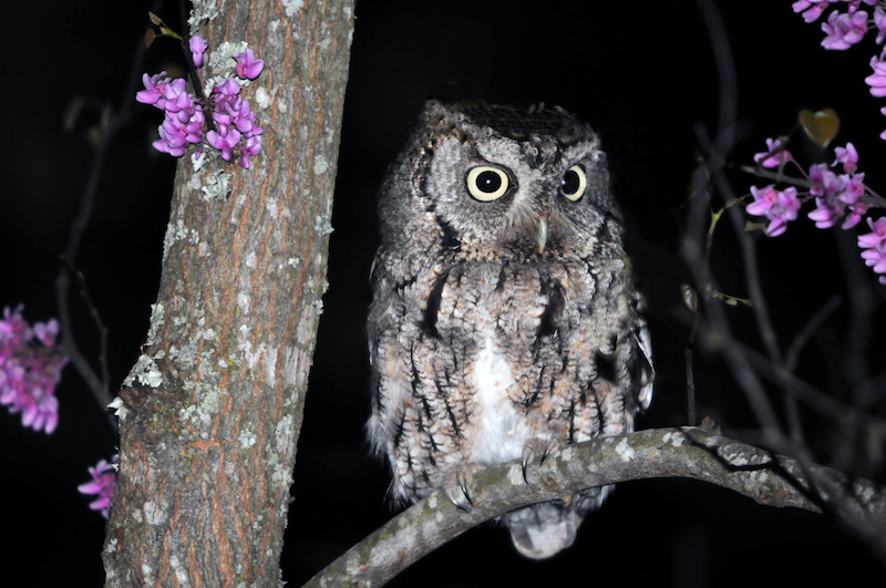 Eastern Screech Owl, gray morph