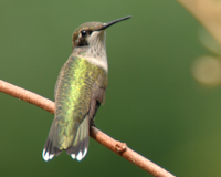 A Ruby Throated Hummingbird It Was Early Evening On Friday And My Husband Gil Came In Said To Me We Have Wildlife Emergency The Garage