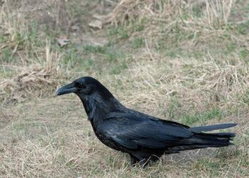 Adult raven at Loudoun Valley High School
