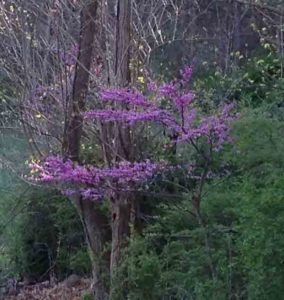 Eastern Redbud Loudoun Wildlife Conservancy