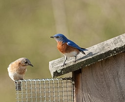 Citizen Science: Bluebird Trails Nestbox Monitoring