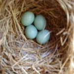 banshee-bluebird-eggs-apr-29-2007-1