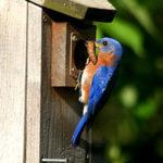 bluebird1_dave_thomas