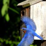bluebird2_davethomas