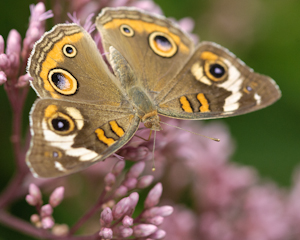Common Buckeye - 2010 was a banner year for them!