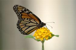 monarch_lantana
