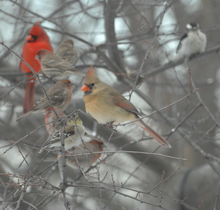 Mixed flock of cardinals, juncos, sparrows and a downy woodpecker