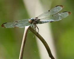 great blue skimmer dragonfly at Bles Park