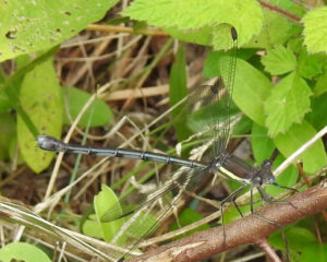 Great Spreadwing Damselfly