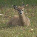 Deer resting on grass