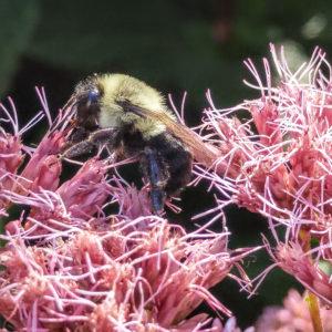 Common Eastern Bumblebee on Joe-Pye Weed