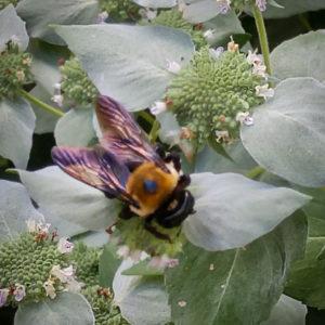 Native bee on Mountain Miint