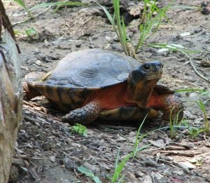Wood turtle by Tom Ramsay