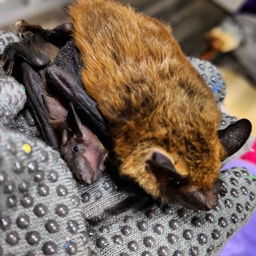 Backyard Bats - A Family-friendly Nature Event - Loudoun Wildlife