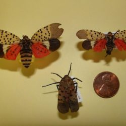 Adult Lanternfly Photo by Virginia Cooperative Extension
