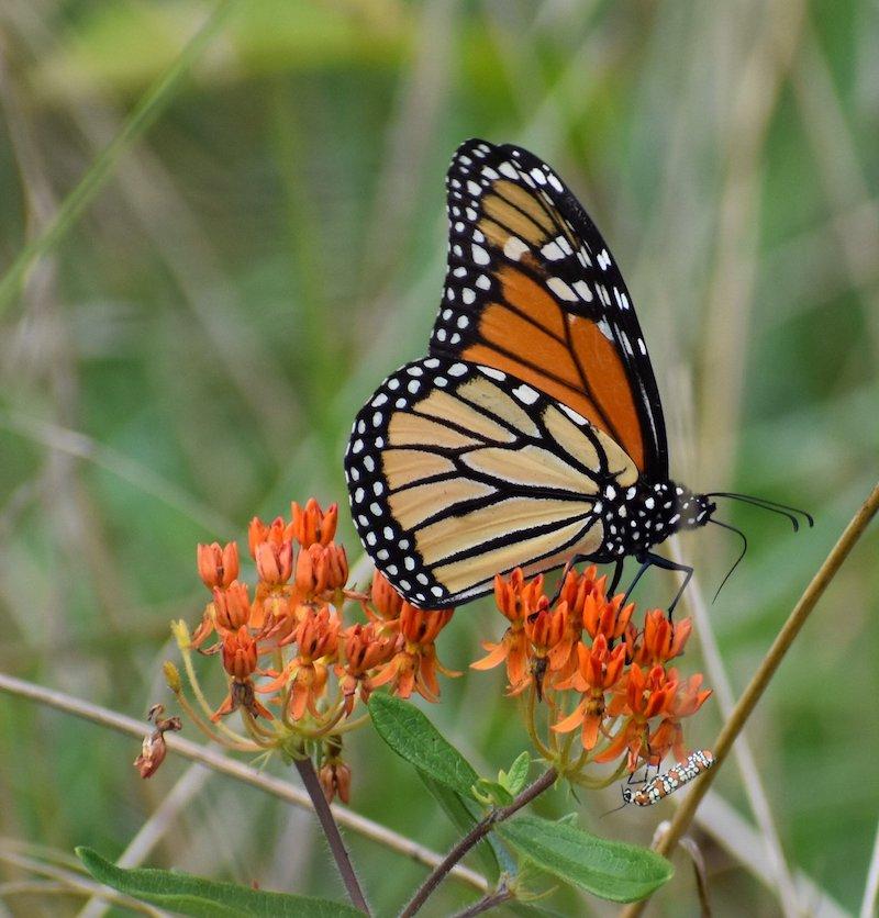 the magic of monarchs loudoun wildlife conservancy