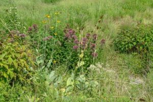Joe Pye weed and Swamp Rose Mallow in a drainage swale
