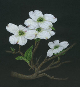 Dogwood painting by Karen Coleman