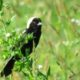 Celebrate Birds! Deerfield Farm: Bobolinks and Other Grassland Birds