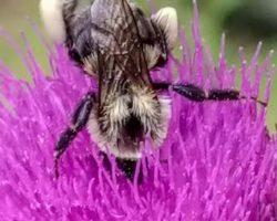 Bumblebee, Bombus impatiens