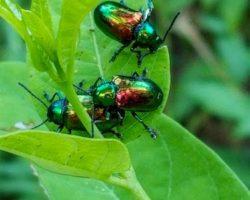 Dogbane Beetle, Chrysichus auratus