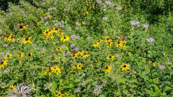 Second Summer Meadow - Monarda and Black-eyed Susan with Silvery Checkerspot, Chlosyne nycteis