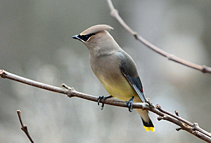 Cedar Waxwing sitting on a branch