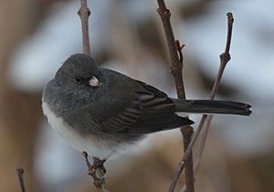 Dark-eyed Junco on bare shrub