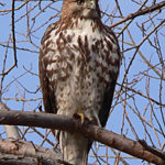 Juvenile Red-tailed Hawk sitting on branch