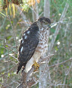 Sharp-shinned Hawk sitting in tree