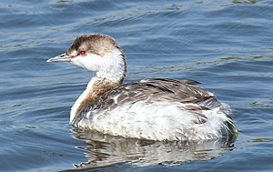 Horned Grebe in winter