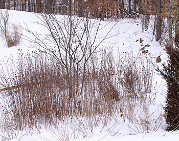 Monarda and Grasses in Winter