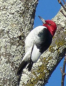 Red-headed Woodpecker on tree trunk