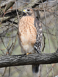 Red-shouldered Hawk perched on branch