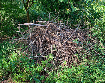 Brush pile used a shelter