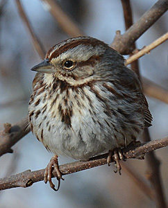 Song Sparrow sitting on branch