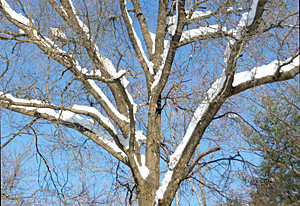 Snow covered tree in winter