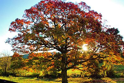 White Oak (Quercus alba) tree