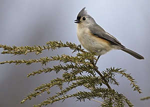 Tufted Titmouse on evergreen tree