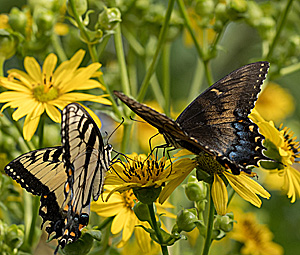 Two Eastern Tiger Swallowtails