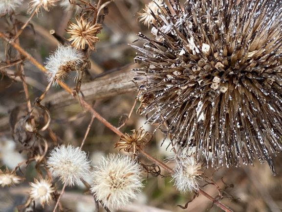 Native plant seed heads